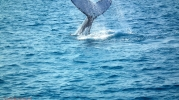 HHervey Bay - Whale watching