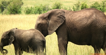Elephants of the Masai Mara